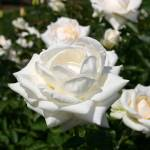 """The White Rose"" by nwmac"