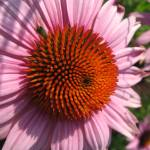 """Purple Coneflower (Echinacea)"" by cswhite"