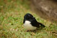 Wee willy wagtail