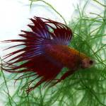 """P1010503 Tricolored Crown Betta Fish Siamese Fight"" by Cindyspics"