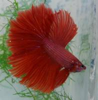 P1050576 Bright Red Male Betta Siamese Fighting Fi
