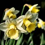 """Daffodils"" by cww-photography"