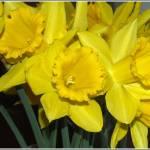 """Spring flowers - Daffodils"" by Merlin_Studios"