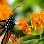 """Monarch on Asclepias"" by SolacePointe"