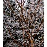 """Iced Tree"" by davidmacneil"
