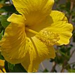 """Hibiscus Flower"" by ken_mobile_photos"