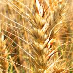 """Wheat Macro IMG_0003_1AD"" by jeffgriffin"