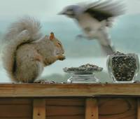 Squinting Squirrel, Blurring Blue Jay