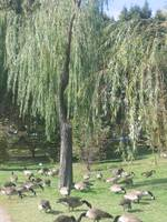 Weeping willow in DC