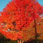 """Colorful Maple"" by garrykinney"