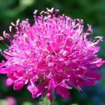 """""""Backyard Flower"""" by garrykinney"""