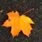 """""""Big Leaf Maple"""" by garrykinney"""