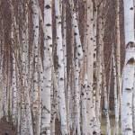 """""""Silver Birch"""" by megapixel13"""