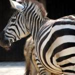 """Rear View Zebras"" by jennisophiafuchs"