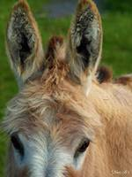 Kind Eye ~ Donkey