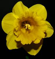 Yellow Daffodil On Black #2