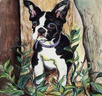 BostonTerrier