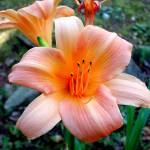 """Morning Daylily"" by eyespeakimages"