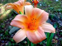 Morning Daylily