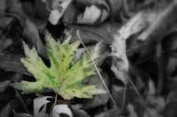 Single Green leaf with black and white leaves