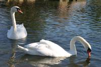 Two Swans swimming in a lake together