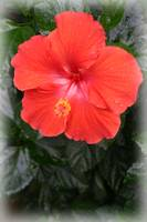 Orange Hibiscus Flower blossom after a gentle rain