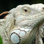 """""""Big Iguana"""" by robinzeggs"""
