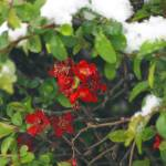 """Crab apple bush in the snow"" by Shapps"