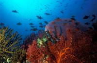 Coral reef scene, Solomon Islands (#0025764)