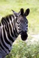 Zebra looking at you.