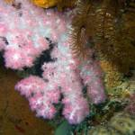 """Pink Soft Coral in Fiji"" by Mac"