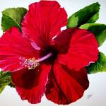 """red hibiscus 004 jpg"" by Cas"