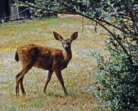 Wild Deer in California