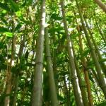 """Bamboo in the Gardens"" by Keppyslinger"