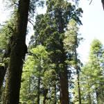 """""""Big Tree ForestJune14 01"""" by Keppyslinger"""