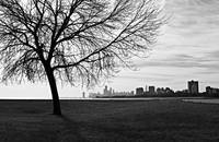 Tree and Chicago Skyline