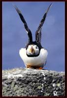 Puffin Away Scotland UK