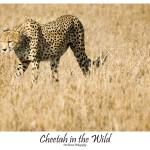 """Cheetah in the Wild"" by patgleasonphotography"