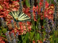 French Swallowtail butterfly