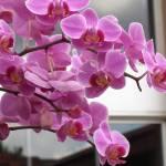 """Pink Orchids"" by amjon"