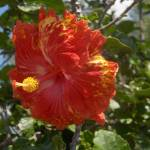 """Hibiscus Flower"" by amjon"