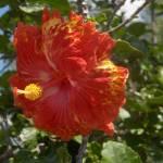 """Hibiscus Flower"" by amjon"