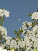 Fuzzy Moon over Cherry Blossoms 2