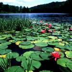 """Lake Hope Lillies"" by RichardBaumer"