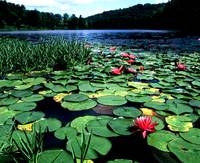 Lake Hope Lillies