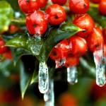 """Frozen Holly Berries"" by EdCooper"