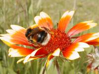 blanket flower with bumblebee