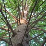 """Looking Up My Huge Cypress Tree"" by dornickdesigns"