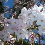 """Cherry Blossom"" by GenevieveBrown"