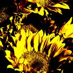 """Sunflowers: Yellow Black 0290"" by vicki-pix"